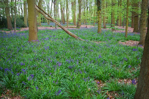 20100427-02_Bluebells - Cawston Woods - Fox Covert - Rugby by gary.hadden