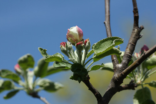 Granny Smith Blossoms 2