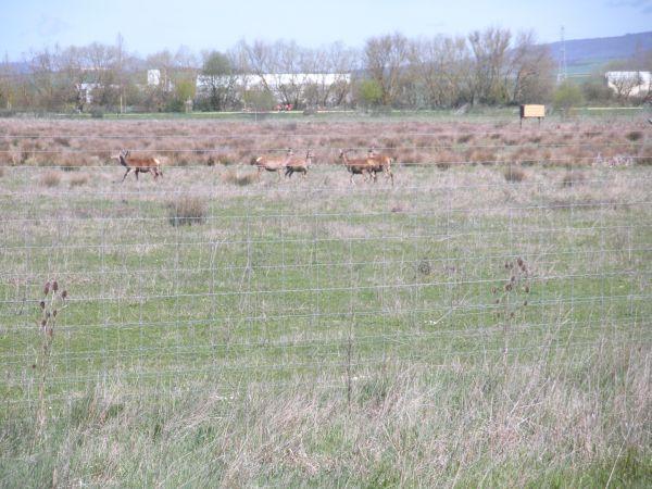 Foto 8 - Ciervos en Salburua