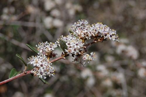 Blooming Ceanothus