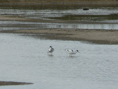 Avocets (record shot)