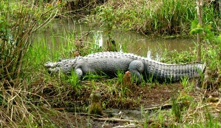 DSC_0415ABCD-Alligator-2