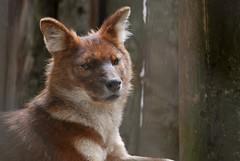 Rothund im Zoo Kaunas