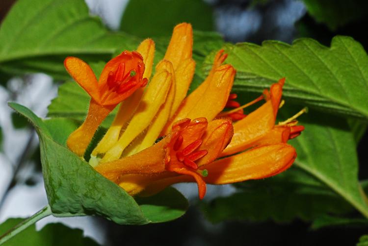 Orange Honeysuckle