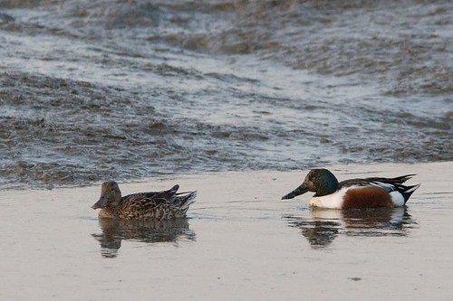 Northern Shovelers by you.