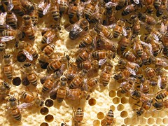 Honeybees with a nice juicy drone
