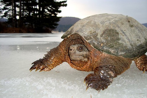 Snapping Turtle on Ice