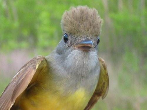 yellow-bellied flycatcher: Great Crested