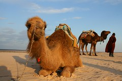 Camel in Tunisian Desert