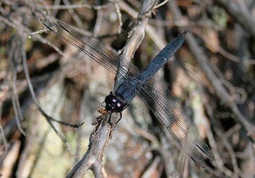 Slaty Skimmer, Libellula incesta