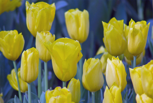 yellow tulips, istanbul tulip festival 2009, istanbul, pentax k10d
