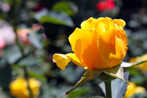 Yellow-Rosebud