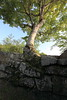 Photo:Tree from a stone wall / 木(き) By