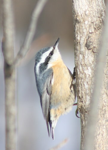 Red-breasted Nuthatch female