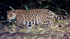 Jaguar Captured on Motion-Activated Camera
