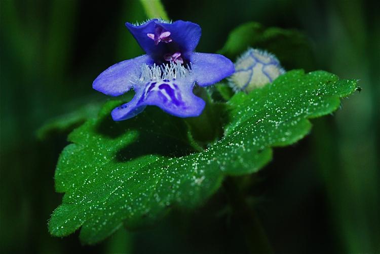 Monkey flower?