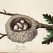 013-Nido de la Oropéndola-Colección de nidos de aves 1772