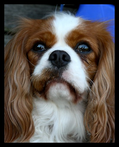 Wonderful King Charles Cavalier Spaniel I met today by you.