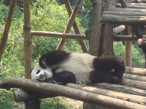 Panda Laying Around