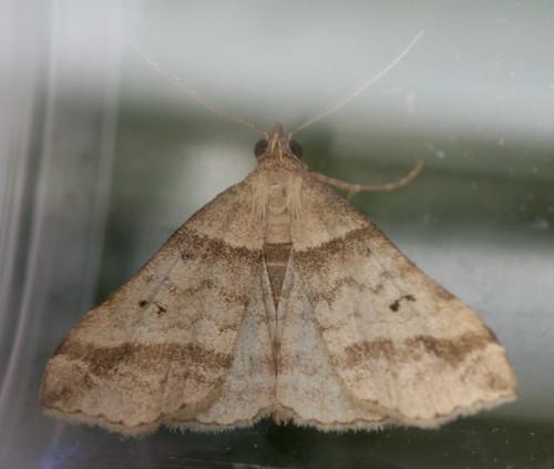 8338 - Phalaenophana pyramusalis - Dark-banded Owlet