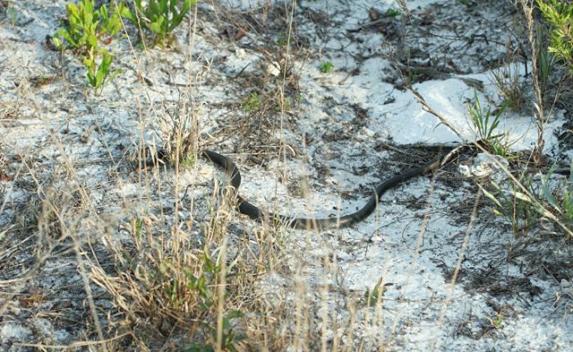 Black-Snake-2