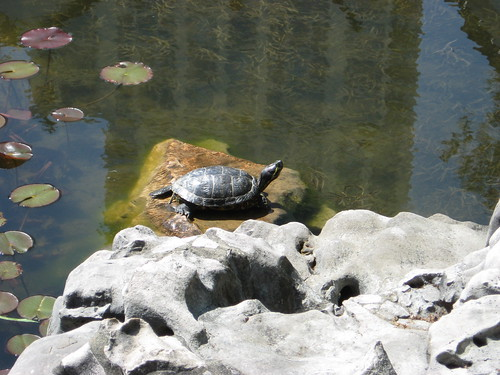 Japanese gardens have koi, Chinese gardens have turtles!