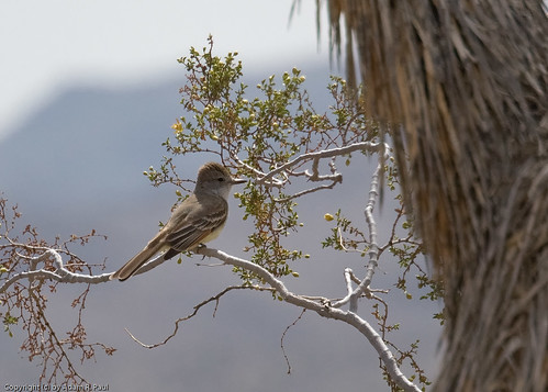 Ash-throated Flycatcher by you.