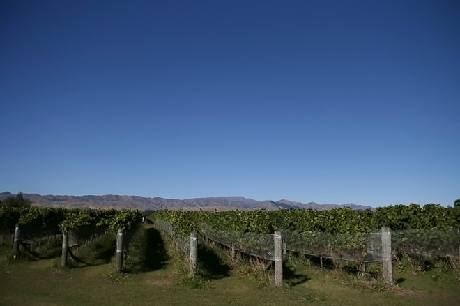 Cloudy Bay vines