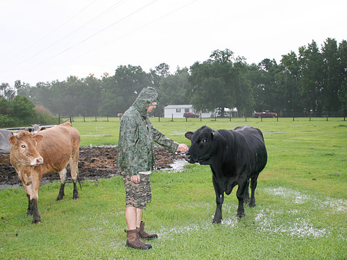 Swamp-Cattle