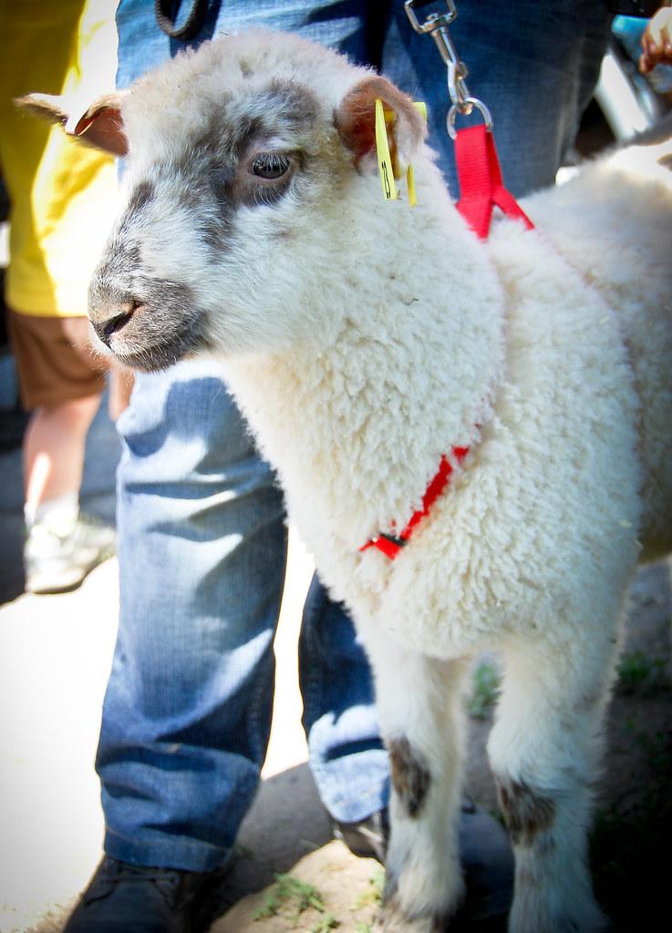 sheep shearing-31