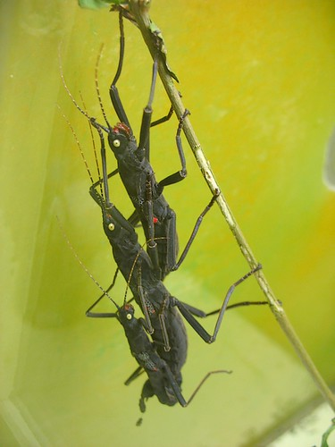 Peruphasma schultei, mating triplet