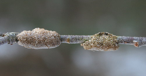 Old and new Tent Caterpillar egg cases