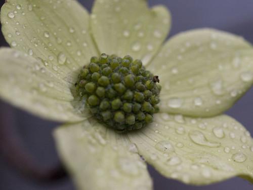 Fun with my macro lens.  I really, really love the raindrops.
