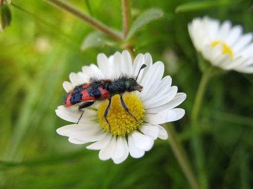 Beezarre beetle