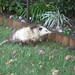 Opossum Bob yawning, look at his jaws