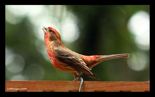 Housefinch courting his mate by you.