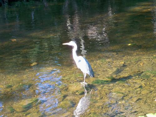 Grey Heron on the River Dodder 5