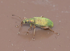 Green weevil (Phyllobius pomaceus)