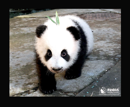 Bai Xue First Baby. 2009 Photo courtesy Pandas International