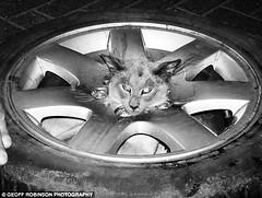 Copie de le-chat-coince-dans-la-roue-de-secours_10741_w560