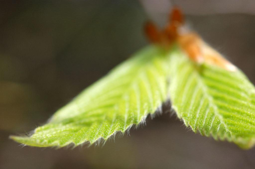 new beech leaf
