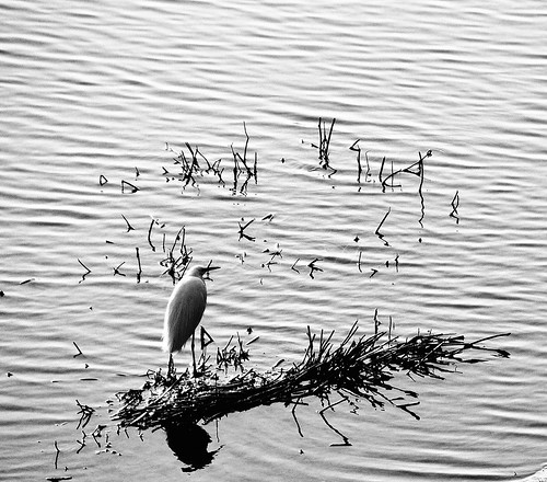 Heron on the Arno river
