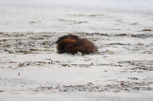 Muskrat in icy water