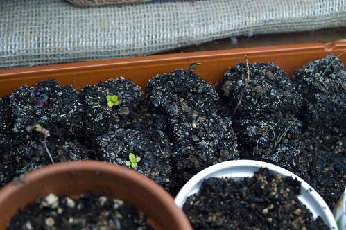 unhappy soil block seedlings