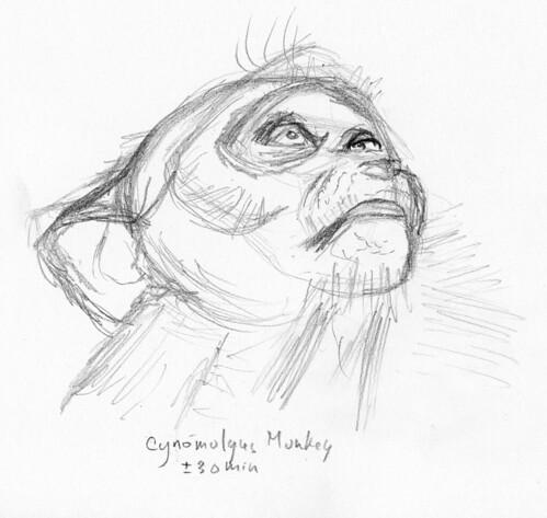Cynomolgus Monkey 1-c