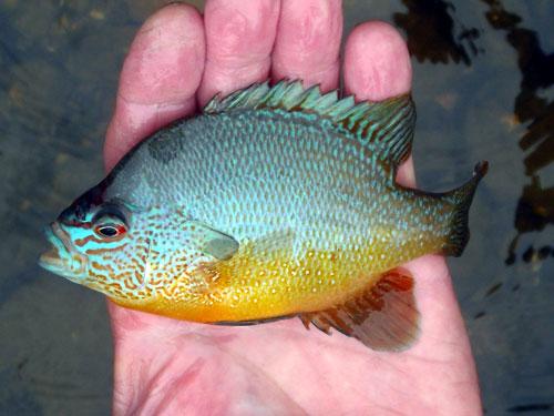 River Sun Fish.  Very tropical!