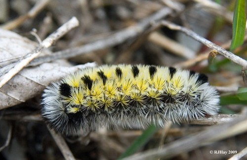 Caterpillar along Bruce Trail