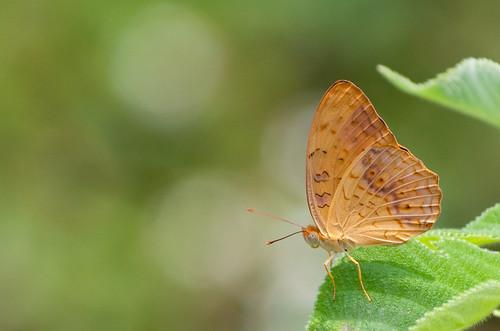 Nymphalidae - Phalanta phalantha