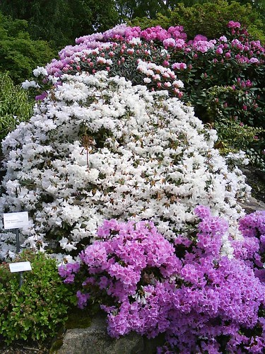 Rhodedendrums in full glory