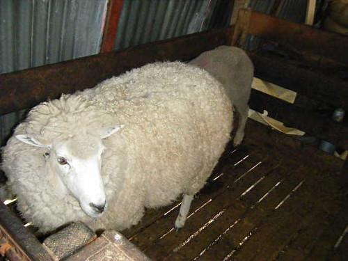 Falkland Sheep2